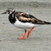 Ruddy turnstone. Adult moulting out of breeding plumage. Foxton Beach, October 2008. Image © Duncan Watson by Duncan Watson