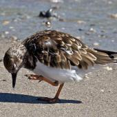 Ruddy turnstone. Non-breeding adult scratching. Fort Pierce,  Florida,  USA, November 2014. Image © Rebecca Bowater by Rebecca Bowater FPSNZ AFIAP www.floraandfauna.co.nz