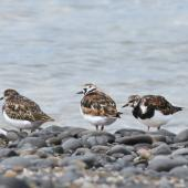 Ruddy turnstone. Flock with two birds in breeding plumage. Kaiaua, March 2016. Image © Marie-Louise Myburgh by Marie-Louise Myburgh