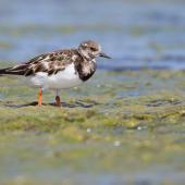Ruddy turnstone. Non-breeding adult. Waipu estuary, January 2014. Image © Laurie Ross by Laurie Ross Courtesy of Laurie Ross Photography - http://laurieross.com.au/