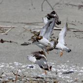 Ruddy turnstone. Five adults (losing breeding plumage) taking flight. Motueka Sandspit, October 2017. Image © Rebecca Bowater by Rebecca Bowater www.floraandfauna.co.nz