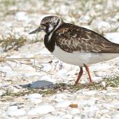 Ruddy turnstone. Adult non-breeding plumage. Waipu estuary, October 2014. Image © Les Feasey by Les Feasey