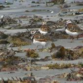 Ruddy turnstone. Rear view of mixed flock in breeding and non-breeding plumage. Kaikoura Peninsula. Image © James Murray by James Murray