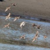 Ruddy turnstone. In flight with a flock of juvenile starlings. Waikanae River estuary, January 2016. Image © Robert Hanbury-Sparrow by Robert Hanbury-Sparrow