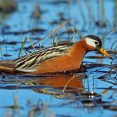Grey phalarope. Adult female in breeding plumage. Barrow, Alaska, June 2015. Image © Nigel Voaden by Nigel Voaden