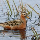 Grey phalarope. Adult male in breeding plumage. Barrow, Alaska, June 2015. Image © Nigel Voaden by Nigel Voaden