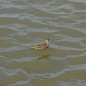 Grey phalarope. Juvenile. Napier foreshore, July 2012. Image © Rod Dickson by Rod Dickson