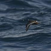 Grey phalarope. Female in breeding plumage, in flight. At-sea off Kaikoura, July 2019. Image © Richard Crossley/Crossley Books by Richard Crossley