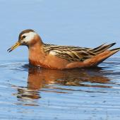 Grey phalarope. Adtlt female in breeding plumage swimming. Svalbard, Norway, June 2019. Image © John Fennell by John Fennell