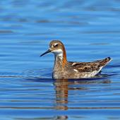 Red-necked phalarope. Adult male in breeding plumage. Nome, Alaska, June 2015. Image © Nigel Voaden by Nigel Voaden