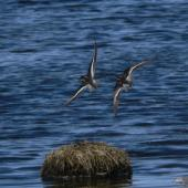 Red-necked phalarope. Two birds in breeding plumage in flight . Yukon-Kuskokwim Delta, Alaska, June 2008. Image © Keith Woodley by Keith Woodley