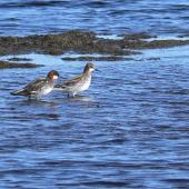 Red-necked phalarope. Female (left) and male in breeding plumage. Yukon-Kuskokwim Delta, Alaska, May 2008. Image © Keith Woodley by Keith Woodley