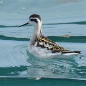 Red-necked phalarope. Juvenile. Hubbard Glacier, Alaska, August 2015. Image © Tony Crocker by Tony Crocker