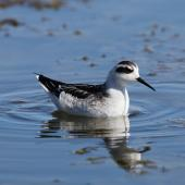 Red-necked phalarope. Non-breeding adult. Pillar Point Harbor, August 2012. Image © Jason Crotty by Jason Crotty via Flickr, 2.0 Generic (CC BY 2.0)