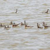 Wilson's phalarope. Flock of adults of both sexes in breeding plumage, with several red-necked phalaropes. Salton Sea, California, May 2015. Image © Nigel Voaden by Nigel Voaden