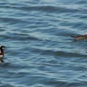 Wilson's phalarope. Breeding plumage female (left) and male on water. Saskatchewan, Canada, July 2008. Image © Sarah Jamieson by Sarah Jamieson