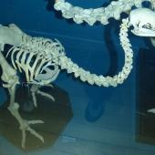 Little bush moa. Mounted skeleton in Tring Museum, England. . Image © Alan Tennyson and The Natural History Museum by Alan Tennyson