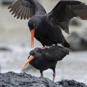 Variable oystercatcher. Black morph pair mating. Ambury Regional Park, December 2014. Image © Bruce Buckman by Bruce Buckman https://www.flickr.com/photos/brunonz/
