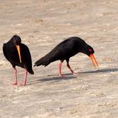 Variable oystercatcher. Black morph adult pair in piping displaying. Northland, January 2008. Image © Peter Reese by Peter Reese