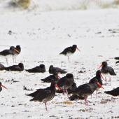 Variable oystercatcher. Flock resting on sandy foreshore. Rarawa, April 2011. Image © Raewyn Adams by Raewyn Adams