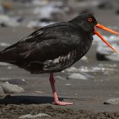 Variable oystercatcher. Intermediate morph adult. Whanganui, October 2010. Image © Ormond Torr by Ormond Torr