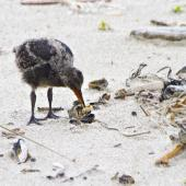 Variable oystercatcher. Chick feeding on mussel meat. Mount Maunganui, January 2012. Image © Raewyn Adams by Raewyn Adams