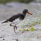 Variable oystercatcher. Pied morph chick. Pukehina, January 2012. Image © Raewyn Adams by Raewyn Adams