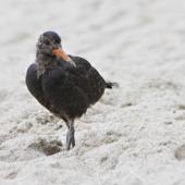 Variable oystercatcher. Recently fledged juvenile - black morph. Mount Maunganui, January 2012. Image © Raewyn Adams by Raewyn Adams