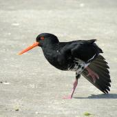 Variable oystercatcher. Adult intermediate morph stretching wing. Waipu estuary Northland, October 2012. Image © Thomas Musson by Thomas Musson tomandelaine@xtra.co.nz