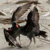 Variable oystercatcher. Adults disputing territory. Waikanae River estuary, October 2017. Image © Roger Smith by Roger Smith