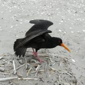 Variable oystercatcher. Adult, dark morph, performing distraction display. Waikanae River estuary, December 2012. Image © Alan Tennyson by Alan Tennyson