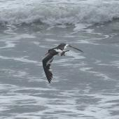 Variable oystercatcher. Adult in flight showing unusually extensive white wingbar and rump patch (possibly hybrid with South Island pied oystercatcher). Gore Bay, Canterbury, January 2015. Image © Alan Tennyson by Alan Tennyson