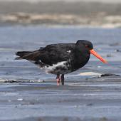 Variable oystercatcher. Adult, intermediate morph. Manawatu River estuary, March 2009. Image © Phil Battley by Phil Battley