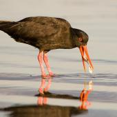 Variable oystercatcher. Black morph adult feeding on a pipi. Ohope Beach, January 2008. Image © Tony Whitehead by Tony Whitehead www.wildlight.co.nz