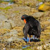 Variable oystercatcher. Preening. Kaikoura, November 2012. Image © Albert Aanensen by Albert Aanensen