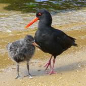 Variable oystercatcher. Adult, black morph, with chick. Ulva Island, February 2007. Image © Tony Crocker by Tony Crocker