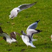 South Island pied oystercatcher. Adult hunting for worms in pasture being mobbed by red-billed gulls. Ambury Regional Park, August 2013. Image © Bruce Buckman by Bruce Buckman http://www.flickr.com/photos/brunonz/