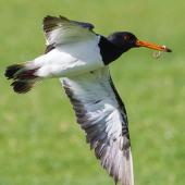 South Island pied oystercatcher. Adult in flight with worm taken from pasture. Ambury Regional Park, August 2013. Image © Bruce Buckman by Bruce Buckman http://www.flickr.com/photos/brunonz/