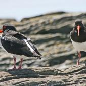 South Island pied oystercatcher. Adults showing front and rear views. Napier, November 2009. Image © Dick Porter by Dick Porter