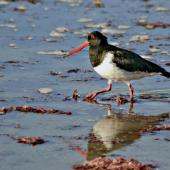 South Island pied oystercatcher. Adult wading. Marfells Beach, March 2010. Image © Raewyn Adams by Raewyn Adams
