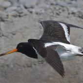 South Island pied oystercatcher. Sub-adult in flight, dorsal view. Avon-Heathcote estuary, March 2014. Image © Steve Attwood by Steve Attwood http://www.flickr.com/photos/stevex2/
