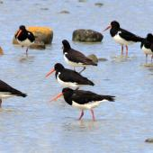 South Island pied oystercatcher. Adults showing various aspects. Golden Bay, January 2008. Image © Rebecca Bowater by Rebecca Bowater  FPSNZ www.floraandfauna.co.nz