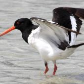 South Island pied oystercatcher. Adult showing underwing. Boulder Bank, Nelson, January 2008. Image © Rebecca Bowater by Rebecca Bowater  FPSNZ www.floraandfauna.co.nz