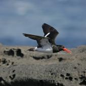 Chatham Island oystercatcher. Adult in flight showing underwing. Rangatira Island, February 2010. Image © David Boyle by David Boyle