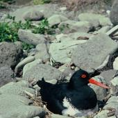 Chatham Island oystercatcher. Adult on nest. Mangere Island, Chatham Islands, November 1982. Image © Department of Conservation (image ref: 10033444) by Dave Crouchley, Department of Conservation Courtesy of Department of Conservation