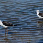 Pied stilt. Two juveniles. Christchurch, December 2006. Image © Peter Reese by Peter Reese