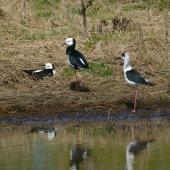 Pied stilt. Adult pair with juvenile (on right). . Image © Noel Knight by Noel Knight