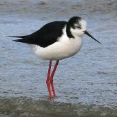 Pied stilt. Immature. Wanganui, July 2008. Image © Ormond Torr by Ormond Torr