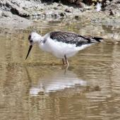Pied stilt. Juvenile. Westshore Wildlife Reserve, January 2010. Image © Dick Porter by Dick Porter