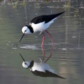 Pied stilt. Adult feeding. Nelson sewage ponds, June 2014. Image © Rebecca Bowater by Rebecca Bowater FPSNZ AFIAP www.floraandfauna.co.nz